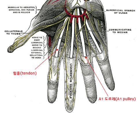 손의 해부학적 구조. 이미지출처 : en.wikipedia.org