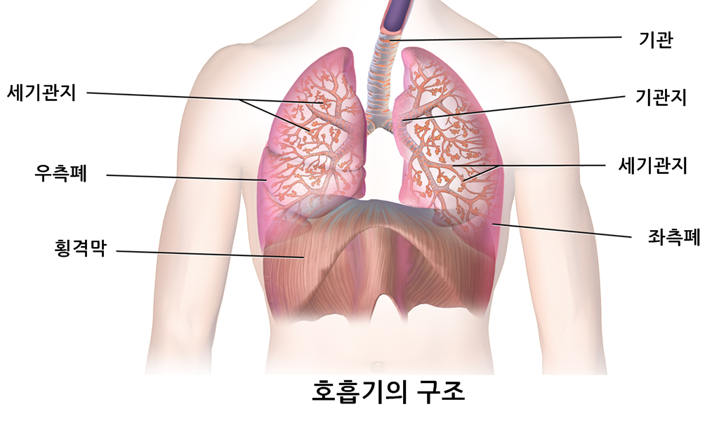 Blausen_0770_RespiratorySystem_02